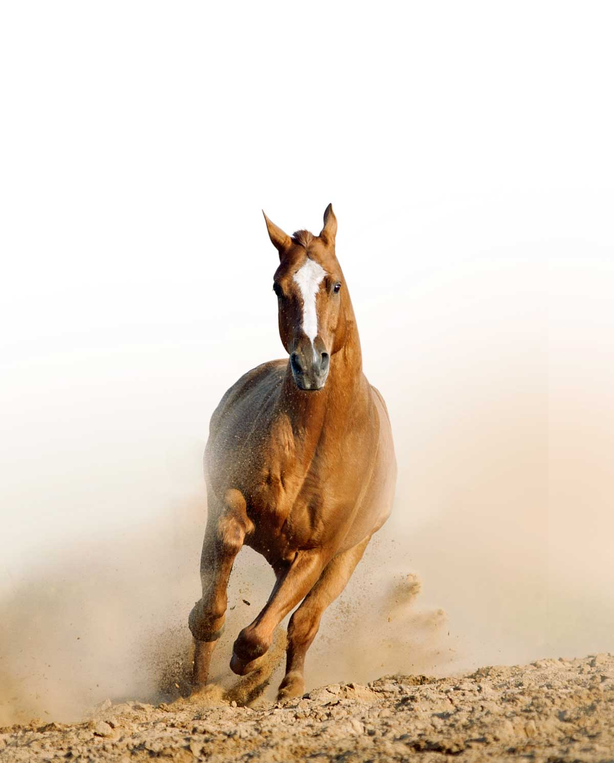 photo chestnut horse running